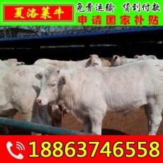 小牛多少钱一头 新华区小黄牛价格