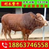 杂交肉牛犊批发 红旗区肉牛养殖方法