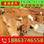 育肥架子牛饲养技术方法 内黄县肉牛养殖合作社