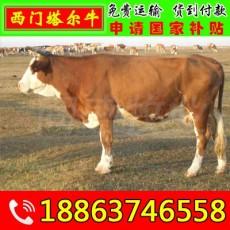 肉牛养殖前景 台江区黄牛养殖场
