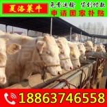 肉牛犊哪里有卖的 石台县牛舍建设图纸