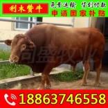 养牛一年挣多少钱 青阳县肉牛犊价格