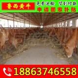 容县杂交肉牛犊批发