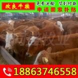 鲁西黄牛牛犊多少钱一头 鼓楼区肉牛养殖效益分析