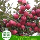 3年苗红肉苹果苗早熟品种