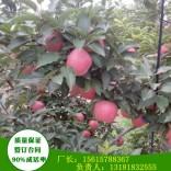 2公分矮化苹果苗适应性极强