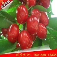 1公分矮化樱桃树价格 矮化樱桃树新品种介绍