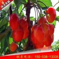 1公分桑提娜樱桃树供应 桑提娜樱桃树怎么管理