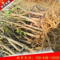 1公分早红宝石樱桃树成活率高 早红宝石樱桃树批发价格