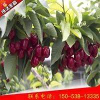 1公分岱红樱桃树种植技术 岱红樱桃树批发价格