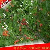 1公分吉塞拉樱桃树成活率高 吉塞拉樱桃树怎么管理