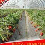 女峰草莓苗�N植技�g
