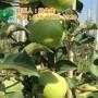 套袋苹果批发价格,苹果批发价格,康霖现代农业(在线咨询)