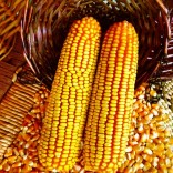 求购饲料用玉米