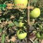 红乔王子苹果供应商、红乔王子苹果、康霖现代农业