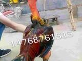 三个月的越南斗鸡多少钱