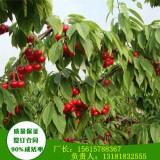 乔化大青叶砧木樱桃苗价格