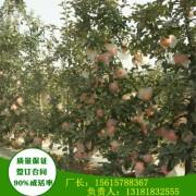 2年苗乔纳金苹果苗品种特性
