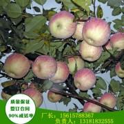 3公分阳光富士苹果苗详细品种介绍