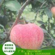 1年生新疆阿克苏苹果苗亩产多少斤