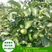 1年苗青香蕉苹果苗晚熟品种