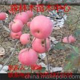 美国八号苹果树苗 美国八号苹果树苗价格  批发美国八号苹果树