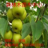 绿宝石梨树苗 绿宝石梨树苗价格  哪里批发绿宝石梨树苗