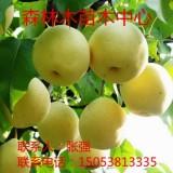 黄冠梨梨树苗  黄冠梨梨树苗批发  黄冠梨梨树苗价格