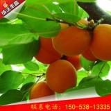 特早巨杏树苗种植技术   特早巨杏树苗批发