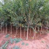香椿树,李子树苗,红叶碧桃,椿树,国槐,皂角,石榴树 油松