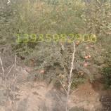3公分石榴树,石榴树,核桃苗,樱桃树苗,核桃树,现货石榴树苗