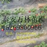 章姬草莓苗一颗多少钱 章姬草莓苗品种怎么样