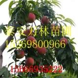 中油16号桃树苗的种植基地 丹东中油16号桃树苗多少钱一棵
