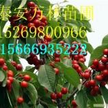 黄密樱桃苗多少钱一棵 白城黄密樱桃苗多少钱一棵