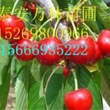 樱桃苗多少钱一棵 辽阳樱桃苗多少钱一棵
