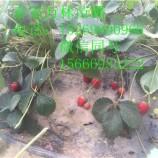 红颜草莓苗一颗多少钱 红颜草莓苗品种哪里好 红颜草莓苗价格