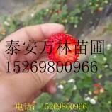 甜查理草莓苗一颗多少钱 甜查理吃草莓苗品种哪里好