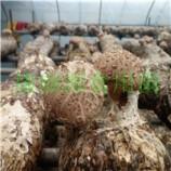 山东青岛出口韩国花菇菌棒、香菇菌棒