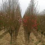 安徽4公分-5公分龙柱碧桃树价格