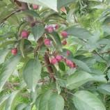 重庆海棠苗木